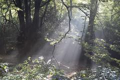 England (richard.mcmanus.) Tags: england eppingforest forest mist trees sunbeam landscape mcmanus uk