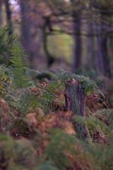 Stumped (RD400e) Tags: canon eos 5d mk3 ef 85mm f12 bwpolariser gitzo autumn padley gorge peakdistrictnationalpark trees woods walking o