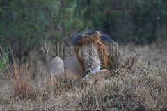 10077922 (wolfgangkaehler) Tags: 2016africa african eastafrica eastafrican kenya kenyan masaimara masaimarakenya masaimaranationalreserve wildlife mammal bigcat predator predatory bigfive lions lionpantheraleo rain rainy raining rainstorm wet maleanimal malelion sleepy