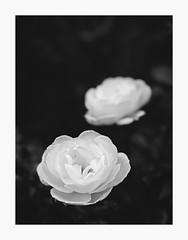 Two of a Kind (bnishimoto) Tags: fuji fujifilm myfujifilm xt1 60mm bayarea villamontalvo montalvo photoessay bw saratoga roses