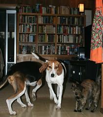 Mary(L), Eve(C), Hazel(R) (saiberiac) Tags: pets companionanimal animal cat dog hound tortie tortoiseshell treeingwalkercoonhound cute house indoor eve hazel mary autumn fall november 2016 november2016