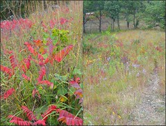 Shrub Invasion--Smooth Sumac (Rhus glabra) (Laurette Victoria) Tags: wisconsin hillprairie dryprairie walworthcounty smoothsumac kettlemorainestateforest rhusglabra