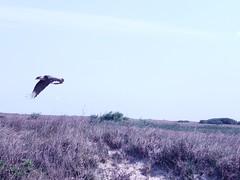 Padre Island Crested Caracara (BirdWatcher6723) Tags: 2011 birds caracaras crestedcaracaras nature padreisland texas unitedstates wildlife caracaracheriway