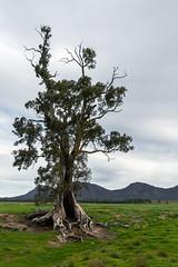 THAT CAZNEAUX TREE (scatrd) Tags: travels afsnikkor24120mmf4gedvr flindersranges nikon mynikonlife australia 2016 holiday landscapephotography country travelphotography subject jasonbruth spiritofendurance nikond810 landscape d810 cazneauxtree 2016flindersfrolic