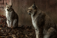 Lynx (thanks for visiting my page) Tags: lynx cat zoo olmsezoo bertmeijers bmeijers