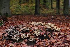 Paddo time!! (RW-V) Tags: canoneos70d canonef100mmf28lmacroisusm herbst herfst autumn automne paleisparkhetloo palacegarden palasthetloo palaishetloo 055photowalks champignons paddestoelen pilze mushrooms fungi forêt forest bos woud woods wald 80faves 100faves 120faves 150faves 175faves 200faves 225faves 250faves 275faves 300faves 325faves