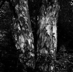 Trees (* Daniel *) Tags: mamiya mamiyac33 6x6 markdaniel markdanielphotocom bw blackwhite blackandwhite uk ilford ilfordfp4 ilfordfp4plus fp4 fp4plus ilfordid11 id11 mono
