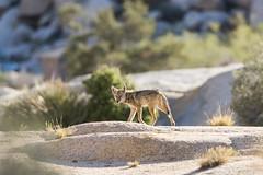 Coyote at Hidden Valley Campground (Joshua Tree National Park) Tags: joshuatree nationalpark california desert coyote hiddenvalleycampground keepwildlifewild mammal