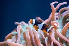 clown (jeff's pixels) Tags: seaanemone ocean aquarium sea water fish clownfish