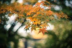 Maple Autumn-Impression (hploeckl) Tags: maple leaf leaves fall autumn pentacon vintage prime