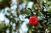 茶花 (紅襪熊 ʕ・ᴥ・ʔ) Tags: agfa agfactprecisa100 ct100 agfact100 正片 陽明山 花 flower camellia 椿 flowers 茶花 山茶花 camelliajaponica meyeroptikgörlitztrioplan100mmf28 meyeroptik görlitz trioplan 100mmf28 100mm f28 m42 bokeh meyer optik gorlitz meyeroptikgörlitztrioplan28100 meyeroptikgorlitztrioplan100mmf28 白銀 fujica st705 底片機 底片 銀鹽 fujifilm fuji fujicast705 filmphotography