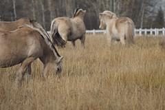 JH165039a (geelog) Tags: calgary ab canada norwegianfjordhorses pasture herd