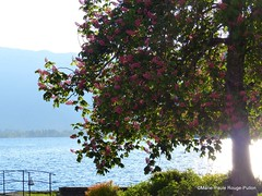Marronnier rose sur le port de Talloires (MPRPJB) Tags: marronnier rose printemps spring port lake lacdannecy talloires france savoiemontblanc