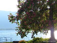 Marronnier rose sur le port de Talloires (MPRPJB) Tags: marronnier rose printemps spring port lake lacdannecy talloires france savoiemontblanc