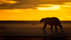 Polar Bear Silhouette *in explore* (Glatz Nature Photography) Tags: alaska arcticnationalwildliferefuge nature northslope polarbears polarbearsandnorthernlights ursusmaritimus wildanimal wildlife barterisland predator carnivore kaktovik nanook nanuq silhouette morninglight sunrise arcticalaska glatznaturephotography nikond4s beaufortsea westbay threatenedspecies vulnerablespecies eyelevelview 500mmf4lens silhouetteshot light higharctic inexplore anwr