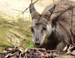 Wallaby (dramadiva1) Tags: tarongazoo australia sydney wallaby