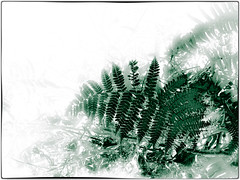 Fern (1911terryjpratt) Tags: leafs leaves bw flowers plants macro wildlife landscape nature spring trees photo border abstract ferns green