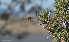 Ich komme .. ;))) * I'm coming .. ;))) * Yo vengo .. ;)))  Makro/Macro   . DSC_2194-001 (maya.walti HK) Tags: 2015 261016 abejas animales animals bees bienen copyrightbymayawaltihk insectos insects insekten macro makro nikond3200 rosmarinrosmarinusofficinalis spanien tiere