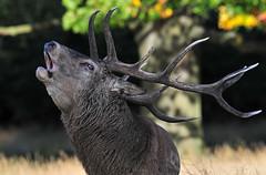 Quite an uproar... (Ian A Photography) Tags: animals animalbehaviour britishanimals deer mammals nature naturebynikon nationalgeographic reddeer richmondpark rut stag ukwildlife wildlife goldwildlife