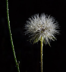 Dandelion head (aycee_2000) Tags: kellerberrinwa everlasting dandelion