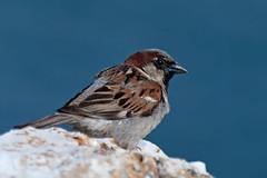 Cozy (Luis-Gaspar-less-active) Tags: animal bird passaro ave pardal pardalcomum sparrow housesparrow passerdomesticus portugal oeiras nikon d60 55300 f56 1500 iso100