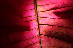 Poinsettia (DenTM) Tags: lightroom