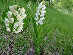 cephalanthera longifolia