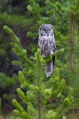 No Hoots Given (James Shooter) Tags: greatgrey september strixnebulosa usa wildlife yellowstone yellowstonenationalpark bird borealforest forest greatgreyowl hail longexposure owl pine