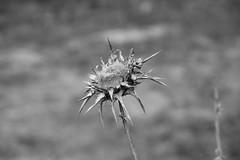 cardo  ~  thistle (Rodrigo Uriartt) Tags: thistle cardo dry flower thorns espinhos macro telemacro goldenhour bw bnw pb poetry poesia israel betyehoshua fujifilm xpro1 nocrop nofilter naturallight