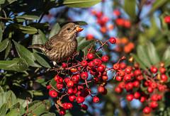 House Finch (m e a n d e r i n g s) Tags: toyon toyonberries housefinch