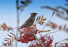 Waxwing (Bombycilla garrulus) (Eastern Davy) Tags: waxwing bombycillagarrulus bird wildlife wild gullane eastlothian scotland canon 70d 300mm