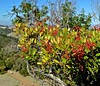 Edgewood County Park and Natural Preserve, toyon, berries, red, ridge line, trails, (David McSpadden) Tags: berries edgewoodcountyparkandnaturalpreserve red ridgeline toyon trails