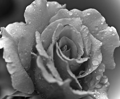 Rain On Rose In BW (dleany) Tags: 100mmf28l 5dmkii macro bw rose raindrops
