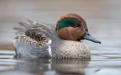 Sarcelle d'hiver - Anas crecca - Eurasian Teal (Anthony Fontaine photographe animalier) Tags: