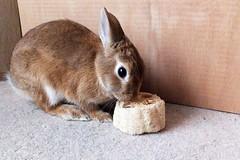 Ichigo san 469 (mensore) Tags:  rabbit bunny netherland dwarf brown cute pet family ichigo