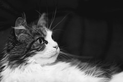 Feel so good. Isnt it? (miyukiz4 su ood) Tags: cats cat kitten  gttino chaton gatito ktzchen gatinho littledoglaughednoiret