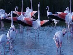 Flemingo (sebastiengobbie) Tags: flemingo bird camargue pont de gau