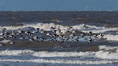 Oystercatcher, (Haematopus ostralegus). (PRA Images) Tags: oystercatcher haematopusostralegus birds shore coast newbrighton wirral