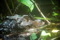 im Wasser versteckt (grasso.gino) Tags: tiere animals natur nature tierpark bochum nikon d5200 reptil reptile echse krokodil crocodile kaiman