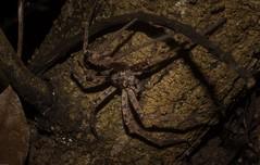 Heteropoda jugulans (dustaway) Tags: arthropoda arachnida araneae araneomorphae salticidae heteropoda huntsman australianspiders lismore northernrivers nsw nature australia heteropodajugulans