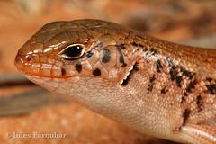 Desert Skink (Liopholis inornata) (Jules Farquhar.) Tags: desertskink liopholisinornata reptile lizard scincidae desert sand aridreptile nanyastation nsw herpetofauna skink julesfarquhar