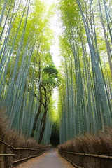 bamboo forest in Kyoto (Apricot Cafe) Tags: img634287 arashiyama asia canonef1635mmf28liiusm japan kyoto lypsekyo16 bamboo daytime forest nopeople