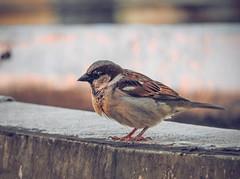 Visita no fim de tarde 2 (Daniel Iceman) Tags: bird nature animals brazil sopaulo sp brasil