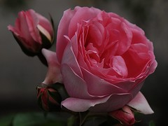 Rosen Roze (koty3) Tags: rozen roze kwiaty blumen ogrod
