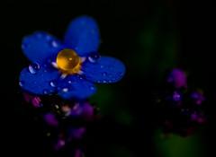 IMGP2366 (jarle.kvam) Tags: forgetmenot flower wildflower forglemmegei blomst blue blå dugg duggdråper dewdrops dew