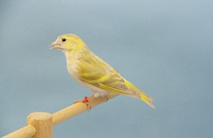 Lugana isabela (aviarioabellan) Tags: fauna europea mutada