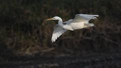 Silberreiher 027 (bertheeb) Tags: silberreiher reiher wasservogel