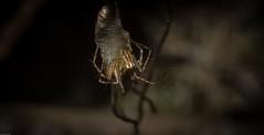 Oxyopes sp. (dustaway) Tags: arthropoda arachnida araneae araneomorphae australianspiders rainforest rotarypark rprr lismore nature northernrivers nsw australia oxyopidae oxyopes lynxspider ootheca