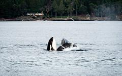 Spyhopping Orca (224-EM551496) (Teemu Paukamainen) Tags: sanjuansafaris orca killerwhale miekkavalas orcinusorca sanjuanislands olympusem5 olympus40150mmf28