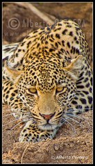 Alberto Carrera (AC ALBERTO CARRERA) Tags: albertocarrera leopard panthera pardus cat predator big feline felidae predation scavenging feliforms carnivorous hunter carnivore mammal vertebrate animal zoology fauna biology ecology wild wildlife nature free safari gamereserve reserve ecosystem sanctuary natural south africa